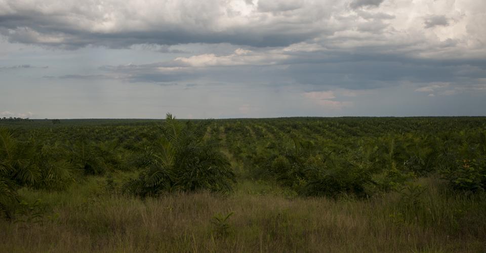 Miles de hectáreas de palma africana se visualizan a lo largo de la carretera de El Petén.