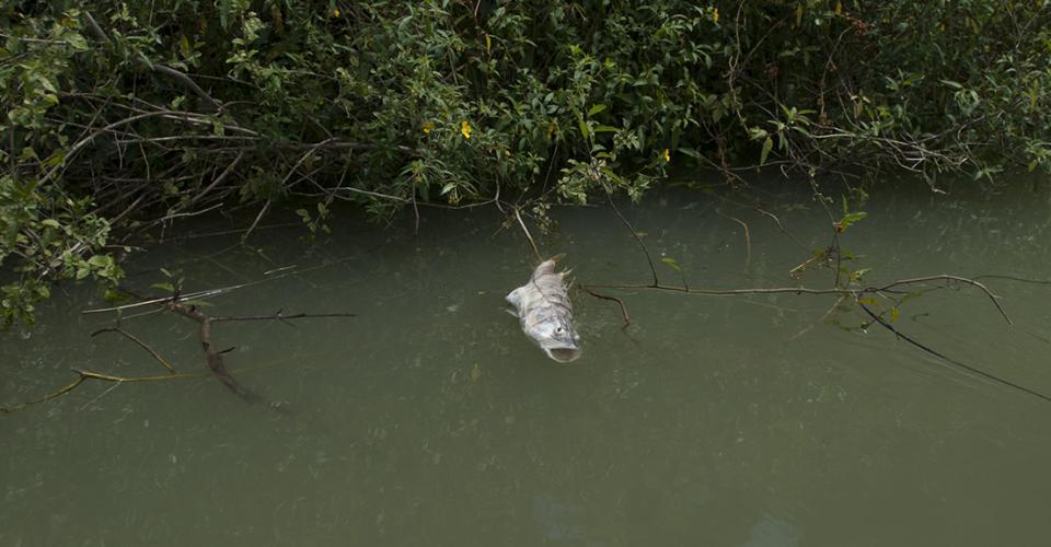 Miles de peces aparecieron muertos de un día para otro en el río La Pasión. Repsa, una importante empresa palmera, es la principal sospechosa.
