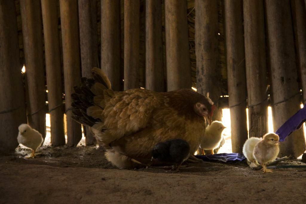"""Los animales constituyen sistemas de ahorro. Se alimentan de los desperdicios de la familia y de lo que hay en el monte. En tiempo de crisis son vendidos para obtener dinero para medicinas o alimento –maíz y frijol-; sólo las familias """"con recursos"""" pueden darse el lujo de comerlos."""