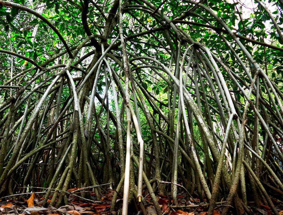 Los manglares tienen un alto valor ecológico y juega un papel fundamental en la resiliencia del país ante el cambio climático
