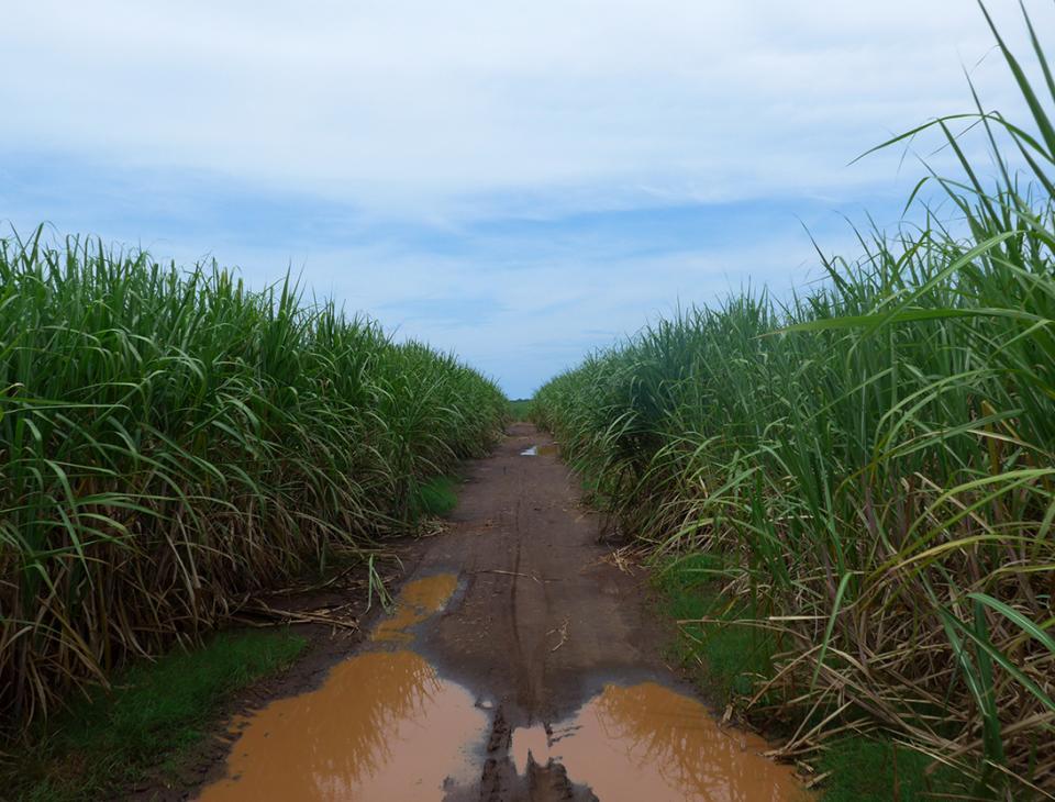 Los monocultivos, como la caña de azúcar, alteraron el ecosistema del mangle, y provocaron los desvíos de ríos.