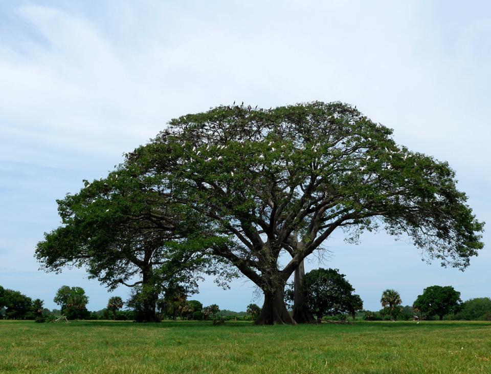 Una ceiba, en soledad, dentro de un ingenio. Pese a estar aislada sirve de anidación de especies que habitan los bosques de mangle.
