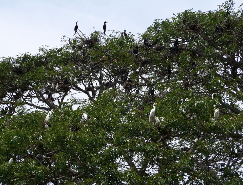 El ecosistema del mangle es importante para la sobrevivencia de aves migratorias.