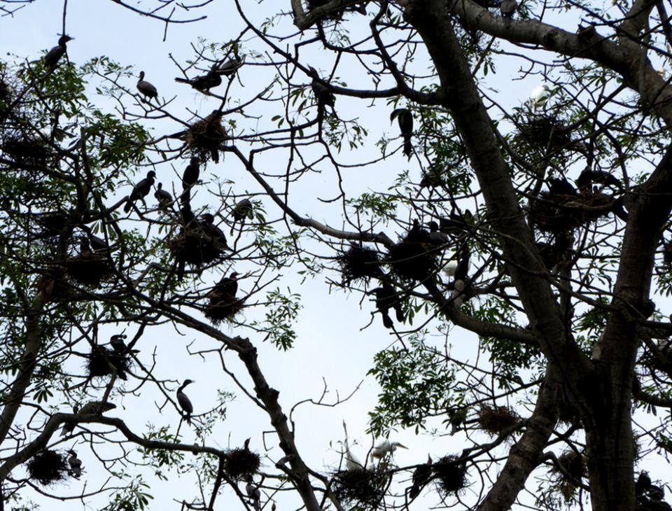 Entre las aves que albergan los bosques de mangle están: patos coche, garzas, gaviotas y gavilanes, entre otras.