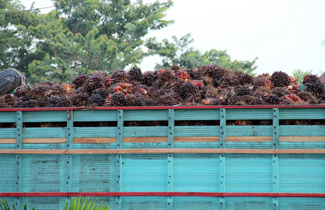 Fruto de palma africana a la espera de ser procesado, en Fray Bartolomé de las Casas, Alta Verapaz.