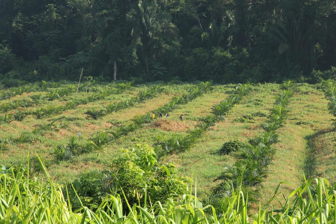 Trabajadores abonan plantaciones de palma africana entre Fray Bartolomé de las Casas y Raxruhá, en Alta Verapaz.