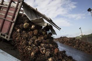 Un camión descarga la fruta de la palma africana en la planta extractora de NaturAceites, localizada en Fray Bartolomé de las Casas. La empresa tiene buena relación con la alcaldía de ese municipio por sus programas de responsabilidad empresarial.