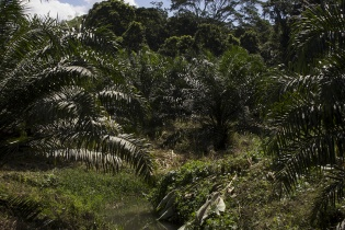 Por los alrededores de Raxruhá se puede observar el desvío de ríos para irrigar las plantaciones de palma.