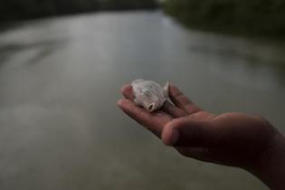 Los pobladores de varias comunidades de Sayaxché, consternados, sacaron decenas de peces que flotaban a lo largo del río. Muchos de ellos nunca habían visto algunas de las especies que murieron.