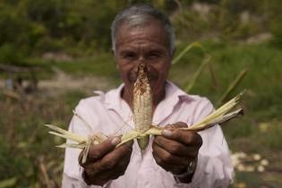 La mayoría de maíz de una familia de la aldea El Chorro, se perdió debido a que la parcela se encuentra a lado de la plantación de palma de Repsa.