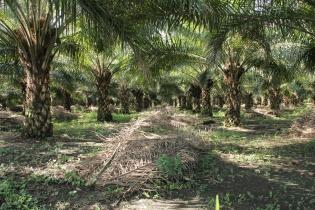 Plantaciones de palma africana cerca de la aldea Los Arenales, a 45 kilómetros del casco urbano de Sayaxché, Petén.