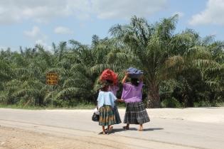 Terrenos de palma africana de la empresa Repsa S.A., frente a la comunidad La Torre, en el kilómetro 355 entre Cobán y Sayaxché.