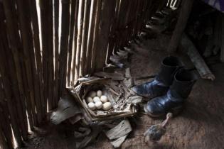 Los huevos al suelo no serán cocinados. Los pollitos que nacerán deberían incrementar la economía doméstica.