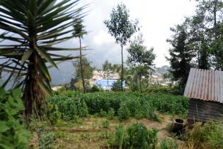 Plantación de amapola.